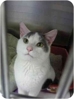 Domestic Shorthair Cat for adoption in Staten Island, New York - Meow-Wow