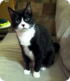 Domestic Shorthair Cat for adoption in Mt. Prospect, Illinois - Dottie