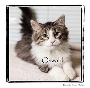 Domestic Longhair Cat for adoption in Warren, Pennsylvania - Oswald