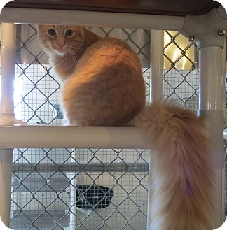 Domestic Longhair Cat for adoption in Geneseo, Illinois - Buzz