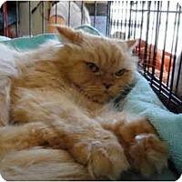 Adopt A Pet :: Misty - Beverly Hills, CA