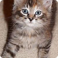 Adopt A Pet :: Sheba - Lighthouse Point, FL