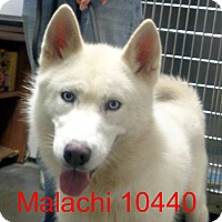 Adopt A Pet :: Malachi - Greencastle, NC