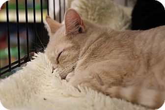 Domestic Shorthair Cat for adoption in Gainesville, Virginia - Poco