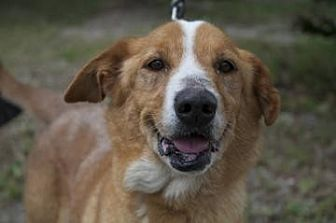 Nova Scotia Duck-Tolling Retriever Mix Dog for adoption in Loxahatchee, Florida - Rummy