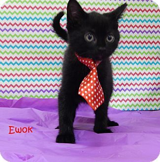 Domestic Shorthair Kitten for adoption in Bucyrus, Ohio - Ewok