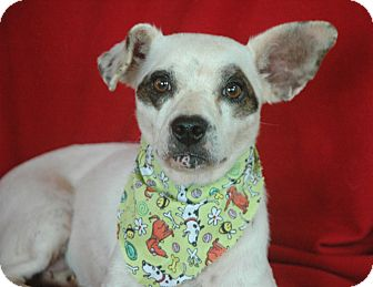 Jack Russell Terrier/Dachshund Mix Dog for adoption in West Springfield, Massachusetts - Honey