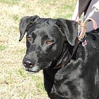 Labrador Retriever Dog for adoption in Portland, Maine - STAR