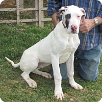 Adopt A Pet :: AKC GREAT DANE PUPS-DENVER, DOPPLER, DARQUIN - WOODSFIELD, OH
