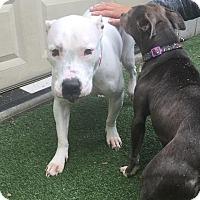 Adopt A Pet :: Sno - Sharon, CT