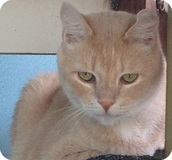 Domestic Shorthair Cat for adoption in Los Angeles, California - Oliver- PLUSH charm boy