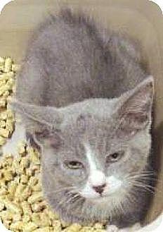 Domestic Shorthair Kitten for adoption in Miami, Florida - Bentley