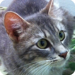 Domestic Shorthair Cat for adoption in Gilbert, Arizona - Agatha