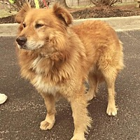 Golden Retriever Dog for adoption in Ceres, Virginia - Lincoln