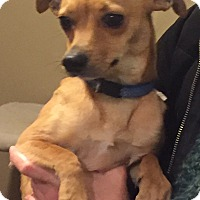 Chihuahua/Miniature Pinscher Mix Dog for adoption in PARSIPPANY, New Jersey - BRODY