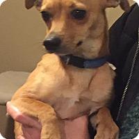Adopt A Pet :: BRODY - PARSIPPANY, NJ