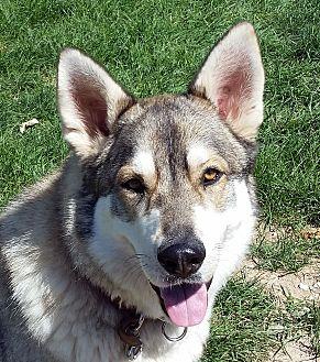 Alaskan Malamute/German Shepherd Dog Mix Dog for adoption in Boise, Idaho - SAMSON(2)