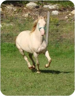 Tennessee Walking Horse Mix for adoption in Mystic, Connecticut - Jade