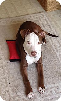 American Pit Bull Terrier Mix Dog for adoption in Nashua, New Hampshire - Max