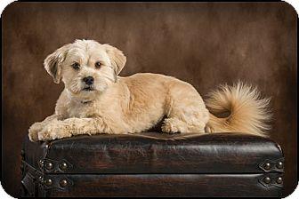 Shih Tzu Mix Dog for adoption in Owensboro, Kentucky - Sandy