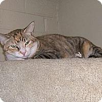 Calico Cat for adoption in Scottsdale, Arizona - Kalifa