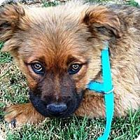 Adopt A Pet :: Fozzie - Gilbert, AZ