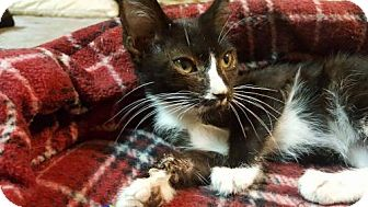 Domestic Shorthair Kitten for adoption in Corona, California - Checkers