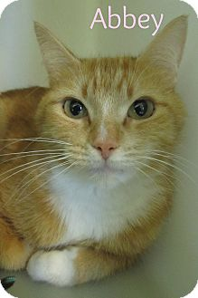 Domestic Shorthair Cat for adoption in Menomonie, Wisconsin - Abbey