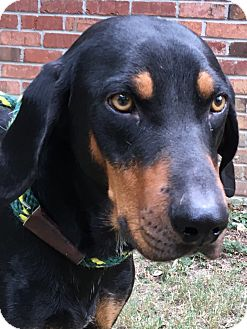 Coonhound Mix Dog for adoption in Olive Branch, Mississippi - Hound Doggie