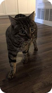 Domestic Shorthair Cat for adoption in Long Beach, California - Sebastian