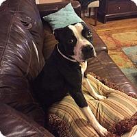 Adopt A Pet :: Joey - Greenville, SC