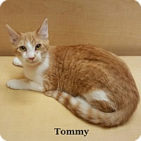 Adopt A Pet :: Tommy - Bentonville, AR