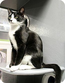 Domestic Shorthair Cat for adoption in Wayne, New Jersey - Baran
