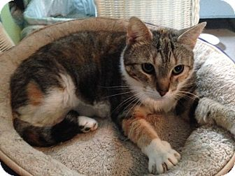 Calico Cat for adoption in Oyster Bay, New York - Claire