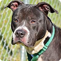 Adopt A Pet :: BLITZ - Brooksville, FL
