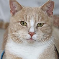 Domestic Shorthair Cat for adoption in Westwood, New Jersey - O'Malley