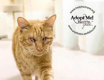 Domestic Shorthair Cat for adoption in Belton, Missouri - Jacques