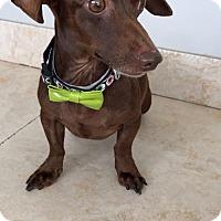Adopt A Pet :: Galileo - Weston, FL