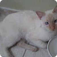Adopt A Pet :: Cheetos - Scottsdale, AZ