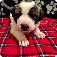 Adopt A Pet :: Bray - Moyock, NC