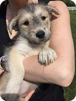 Australian Shepherd Mix Puppy for adoption in Nanuet, New York - Darla