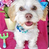 Adopt A Pet :: Darcie - Irvine, CA