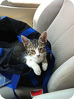Domestic Shorthair Cat for adoption in Baton Rouge, Louisiana - Uno