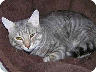 Domestic Shorthair Cat for adoption in Merrifield, Virginia - Hobbit