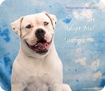 American Bulldog Dog for adoption in Acton, California - Samson