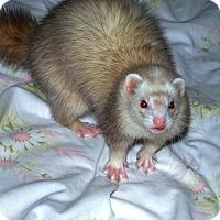 Adopt A Pet :: Aphrodite - Acworth, GA