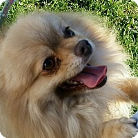 Adopt A Pet :: Cotton - Lexington, KY