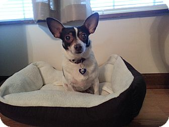 Fox Terrier (Toy) Mix Dog for adoption in Homewood, Alabama - Bambi