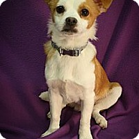 Adopt A Pet :: Pickles - Broomfield, CO