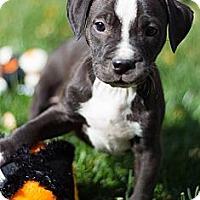 Adopt A Pet :: Monica - Sacramento, CA